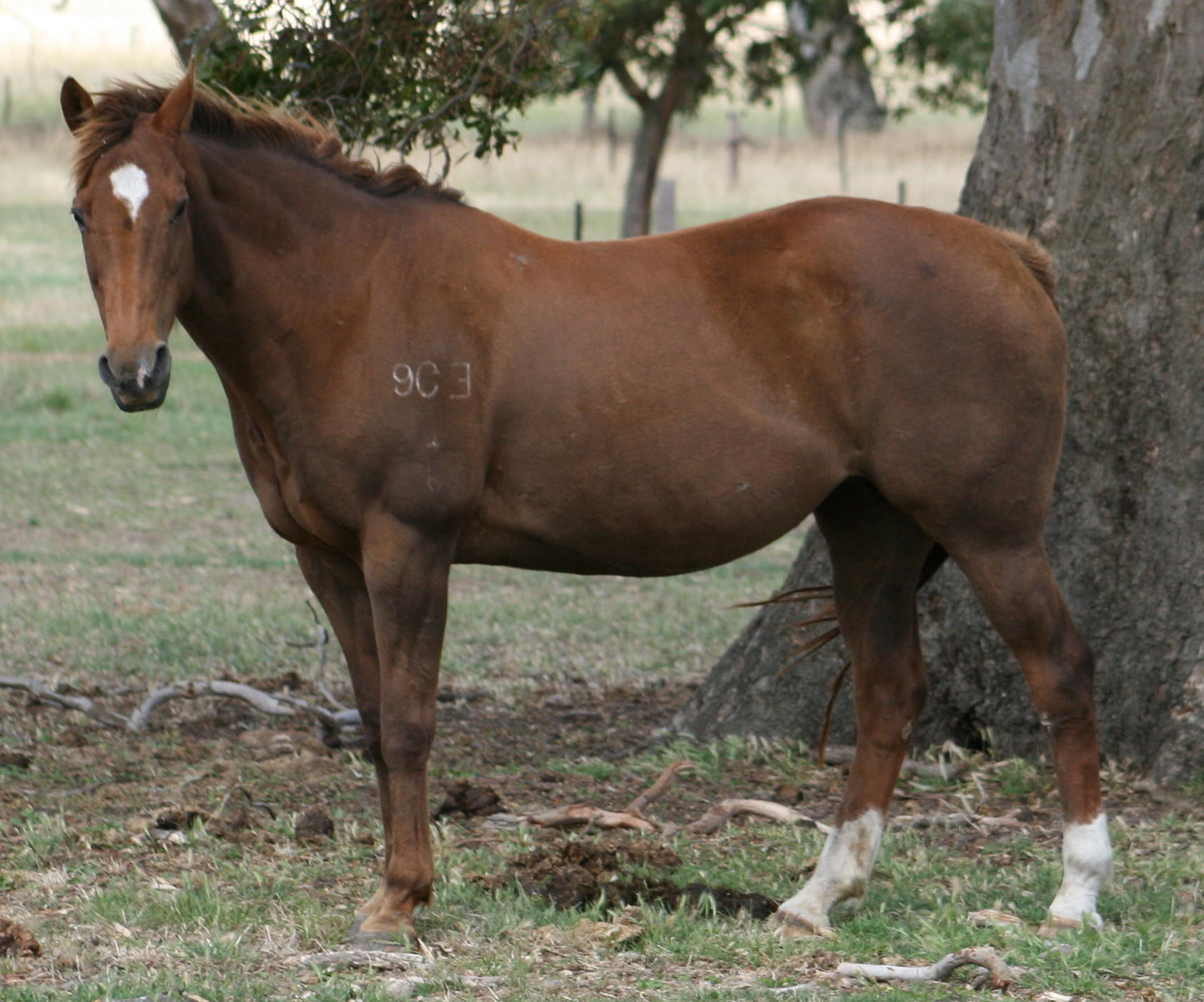 Grandstand Bunny Blue – Dam of Destinys Fulfilled
